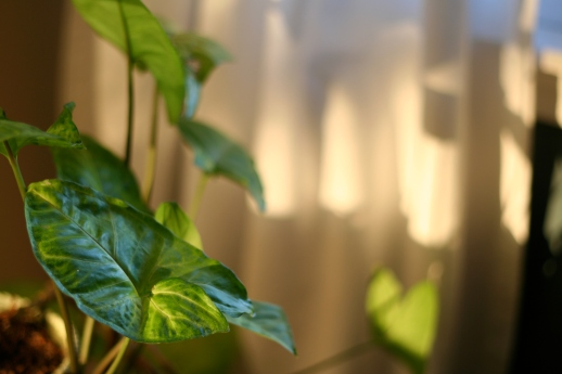 philodendron in the window